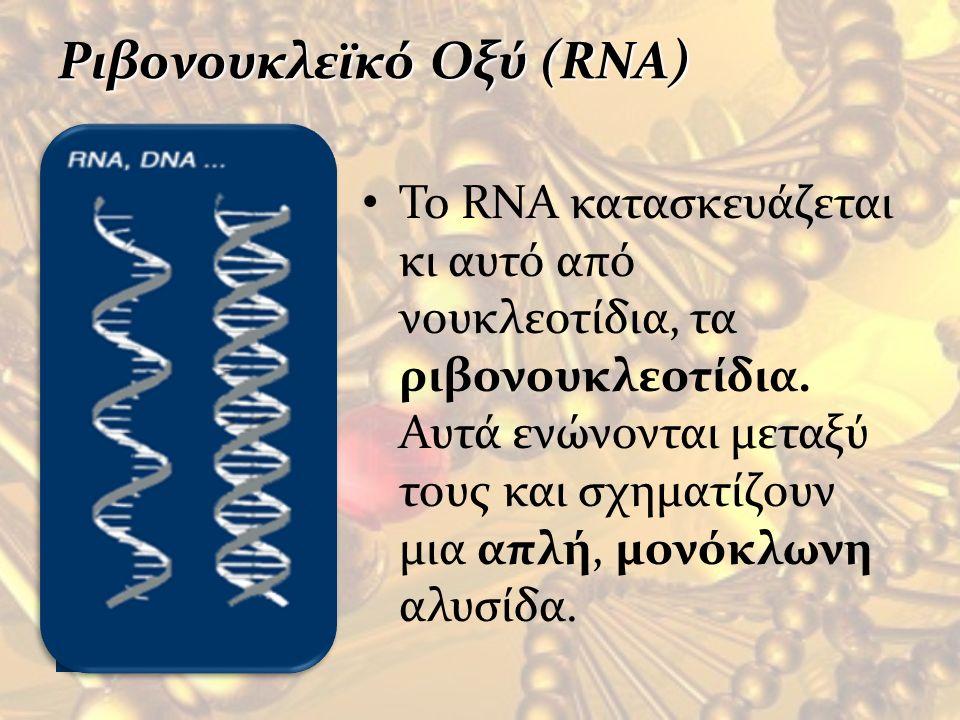 Ριβονουκλεϊκό Οξύ (RNA) To RNA κατασκευάζεται κι αυτό από νουκλεοτίδια, τα ριβονουκλεοτίδια. Αυτά ενώνονται μεταξύ τους και σχηματίζουν μια απλή, μονό