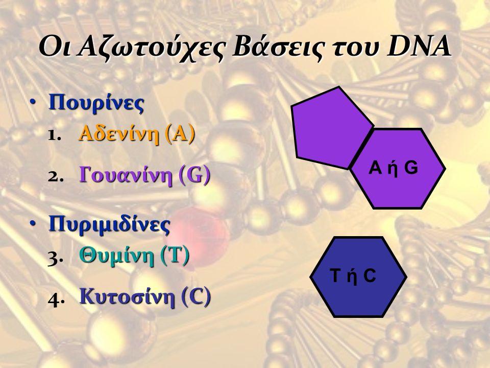 Οι Αζωτούχες Βάσεις του DNA Πουρίνες 1.Αδενίνη (A) 2.Γουανίνη (G) Πυριμιδίνες 3.Θυμίνη (T) 4.Κυτοσίνη (C) T ή C A ή G