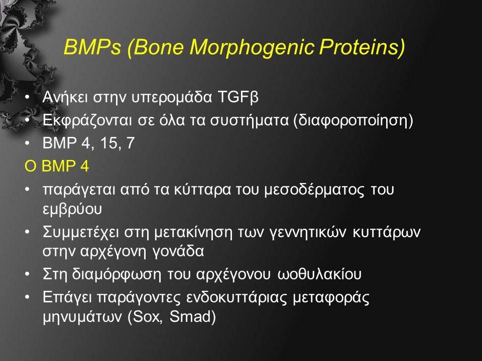 BMPs (Bone Morphogenic Proteins) Ανήκει στην υπερομάδα TGFβ Εκφράζονται σε όλα τα συστήματα (διαφοροποίηση) BMP 4, 15, 7 Ο BMP 4 παράγεται από τα κύτταρα του μεσοδέρματος του εμβρύου Συμμετέχει στη μετακίνηση των γεννητικών κυττάρων στην αρχέγονη γονάδα Στη διαμόρφωση του αρχέγονου ωοθυλακίου Επάγει παράγοντες ενδοκυττάριας μεταφοράς μηνυμάτων (Sox, Smad)
