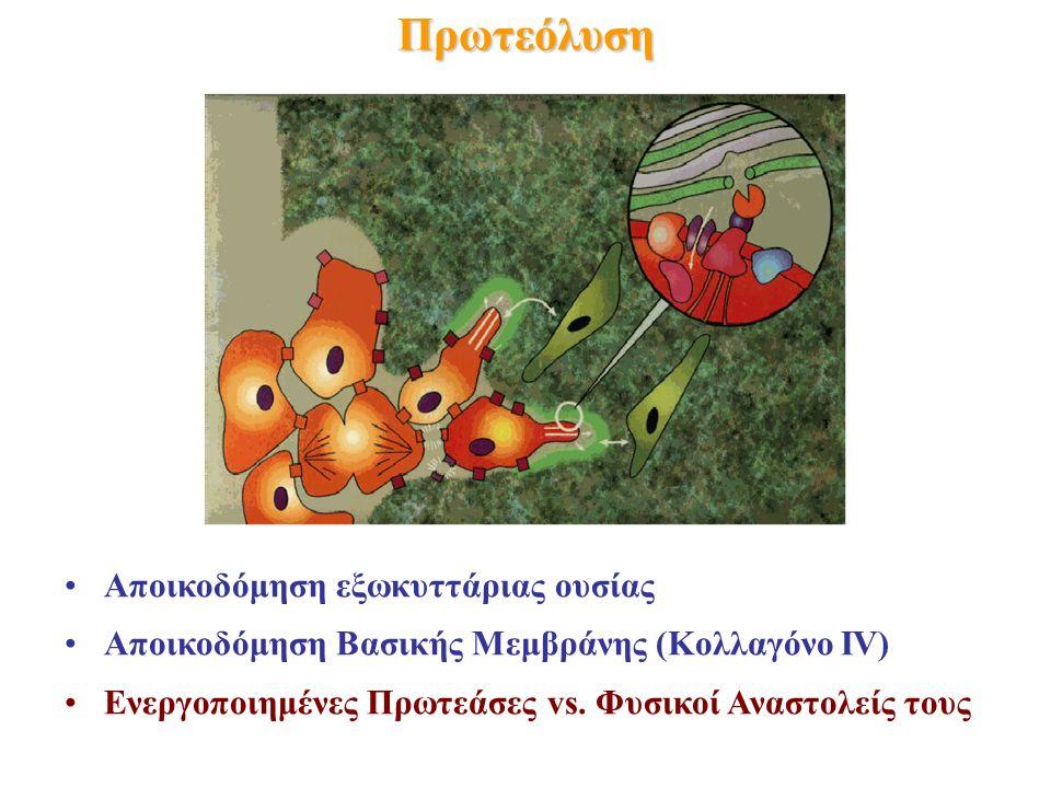Πρωτεόλυση Αποικοδόμηση εξωκυττάριας ουσίας Αποικοδόμηση Βασικής Μεμβράνης (Κολλαγόνο IV) Ενεργοποιημένες Πρωτεάσες vs.
