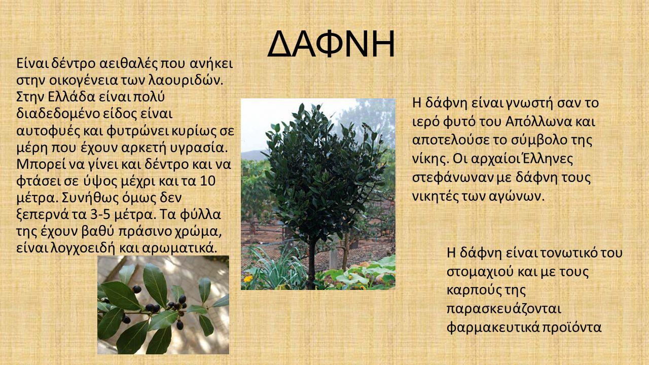 ΔΑΦΝΗ Είναι δέντρο αειθαλές που ανήκει στην οικογένεια των λαουριδών.