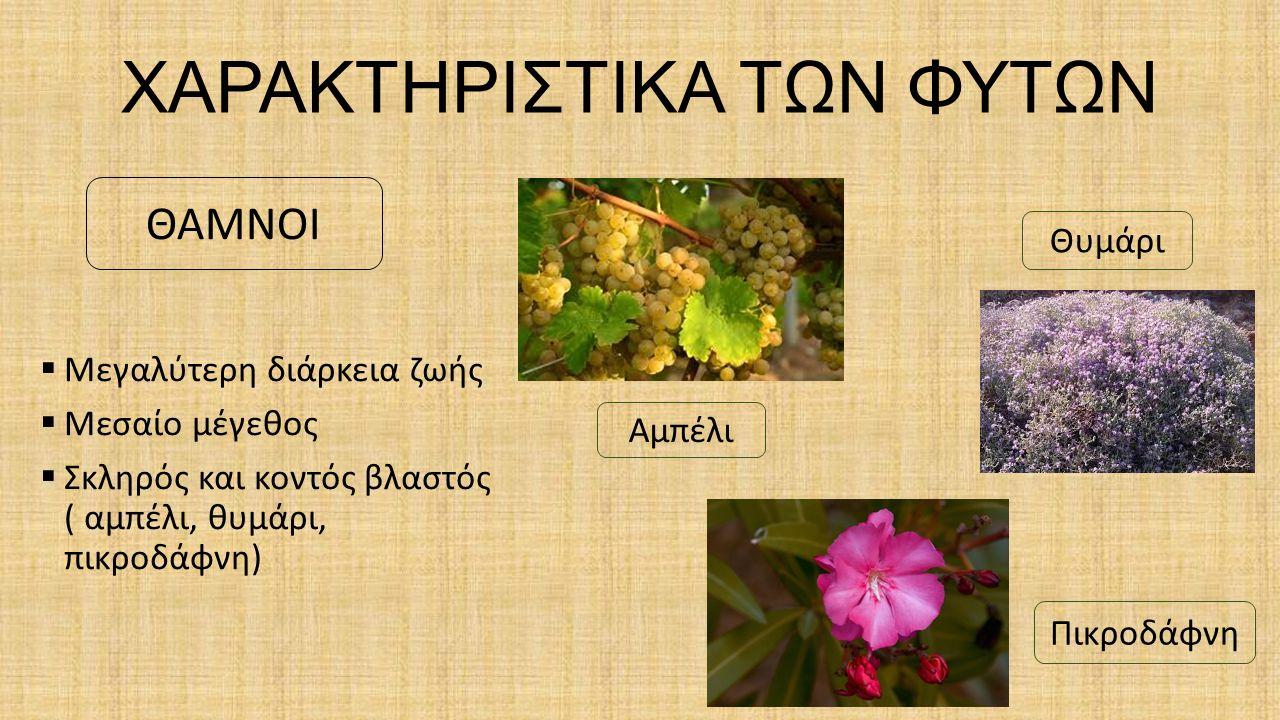 ΔΕΝΤΡΟΛΙΒΑΝΟ Είναι αρωματικός θάμνος, με γαλαζοπράσινα φύλλα σαν βελόνες και ρόδινα ή γαλάζια λουλούδια που ανθίζουν τον Απρίλιο και τον Μάιο.