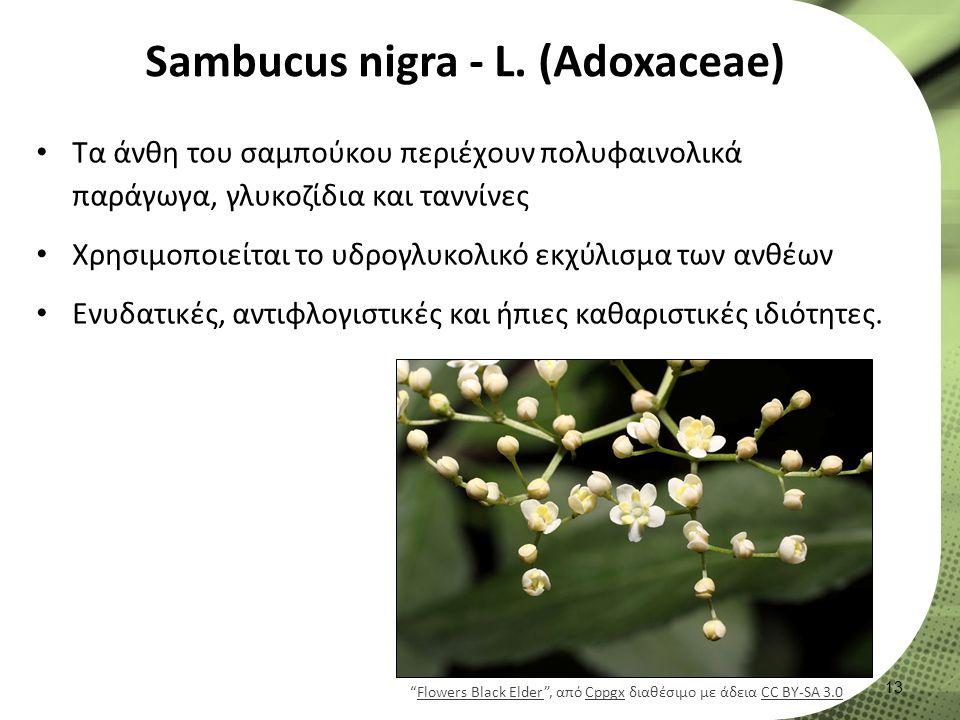 Sambucus nigra - L.