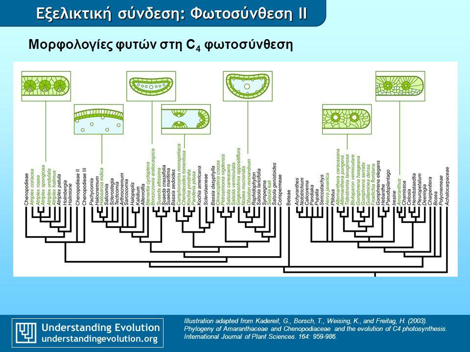 Εξελικτική σύνδεση: Φωτοσύνθεση II Μορφολογίες φυτών στη C 4 φωτοσύνθεση Illustration adapted from Kadereit, G., Borsch, T., Weising, K., and Freitag, H.