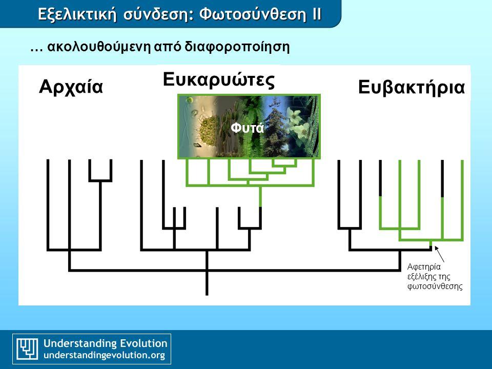 Εξελικτική σύνδεση: Φωτοσύνθεση II … ακολουθούμενη από διαφοροποίηση Φυτά Αφετηρία εξέλιξης της φωτοσύνθεσης Αρχαία Ευκαρυώτες Ευβακτήρια