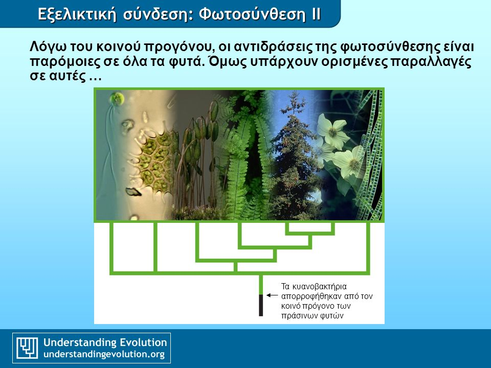 Εξελικτική σύνδεση: Φωτοσύνθεση II C 4 φωτοσύνθεση CO 2 PEP carboxylase fixes carbon efficiently RUBISCO completes photosynthesis C4C4 high O 2 concentration low O 2 concentration Corn photo by Doug Wilson/USDA