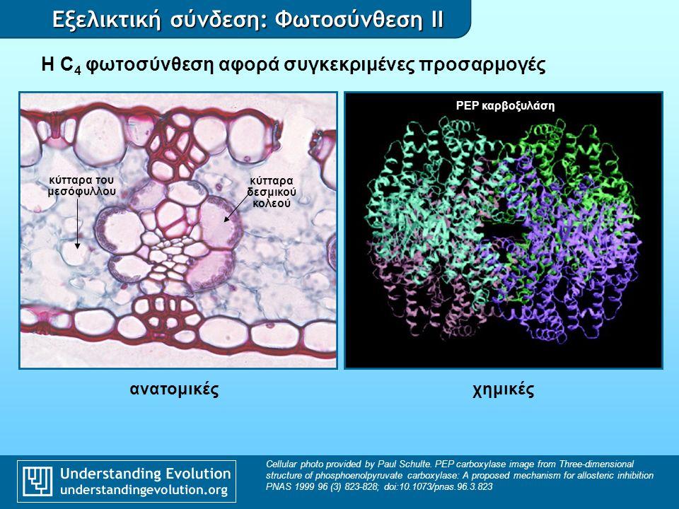 Εξελικτική σύνδεση: Φωτοσύνθεση II Η C 4 φωτοσύνθεση μεταξύ των αγγειόσπερμων Phylogeny based on Sage, R.