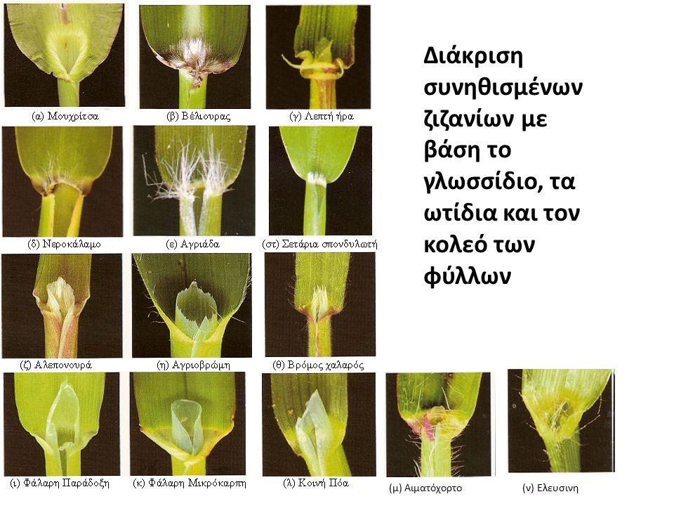 Διάκριση συνηθισμένων ζιζανίων με βάση το γλωσσίδιο, τα ωτίδια και τον κολεό των φύλλων (μ) Αιματόχορτο (ν) Ελευσινη
