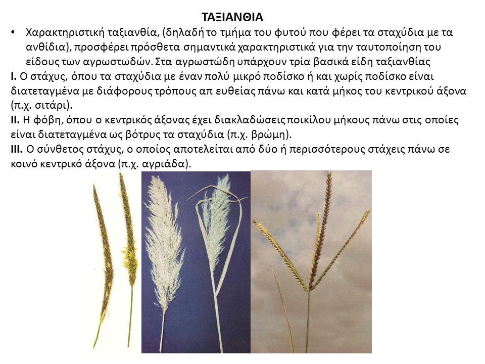 ΤΑΞΙΑΝΘΙΑ Χαρακτηριστική ταξιανθία, (δηλαδή το τμήμα του φυτού που φέρει τα σταχύδια με τα ανθίδια), προσφέρει πρόσθετα σημαντικά χαρακτηριστικά για τ