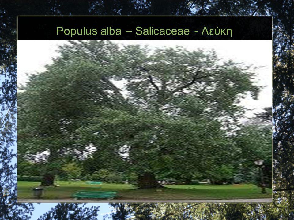 Populus alba – Salicaceae - Λεύκη