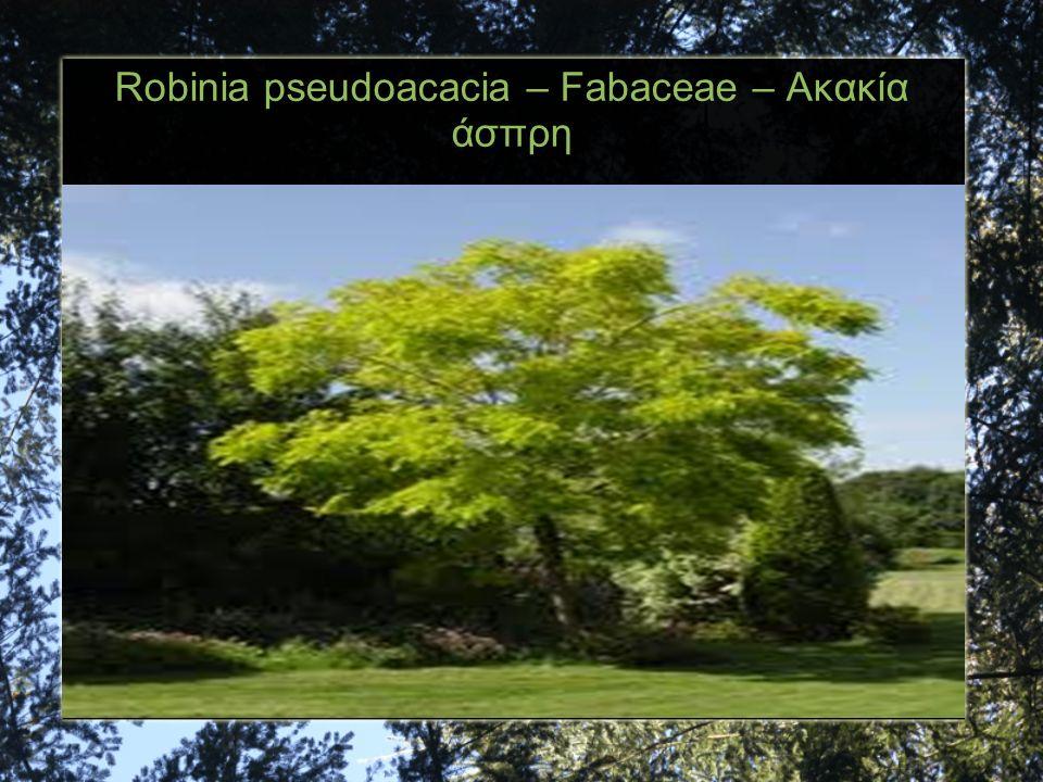 Robinia pseudoacacia – Fabaceae – Ακακία άσπρη