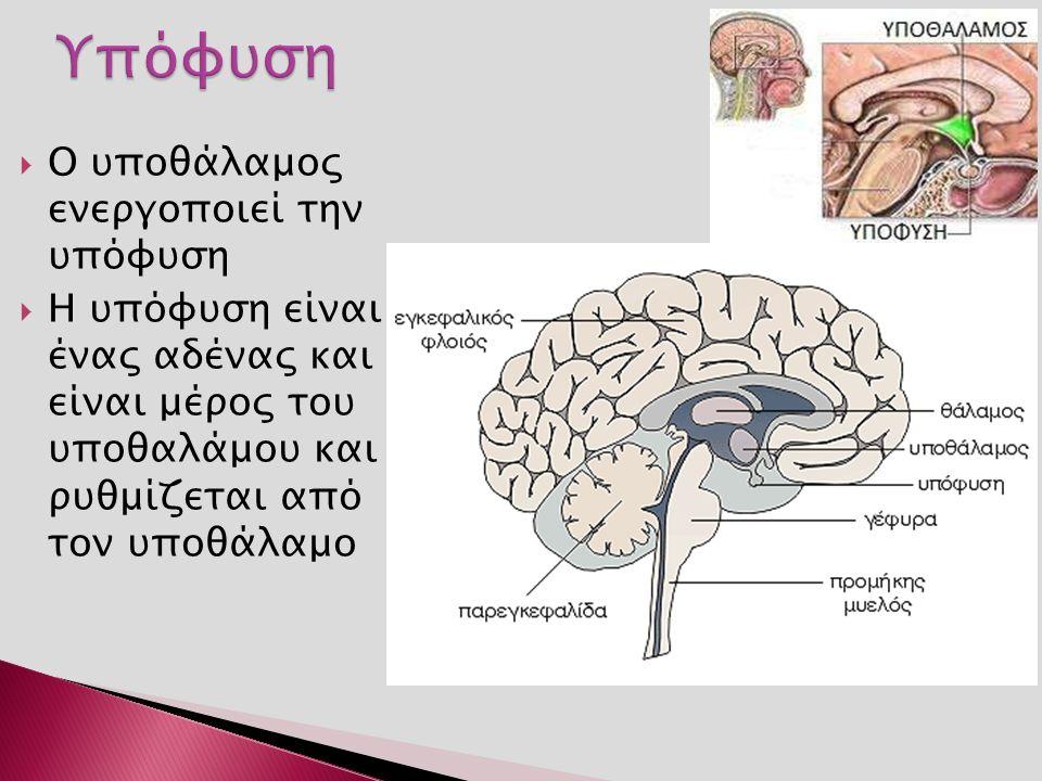  Ο υποθάλαμος ενεργοποιεί την υπόφυση  Η υπόφυση είναι ένας αδένας και είναι μέρος του υποθαλάμου και ρυθμίζεται από τον υποθάλαμο