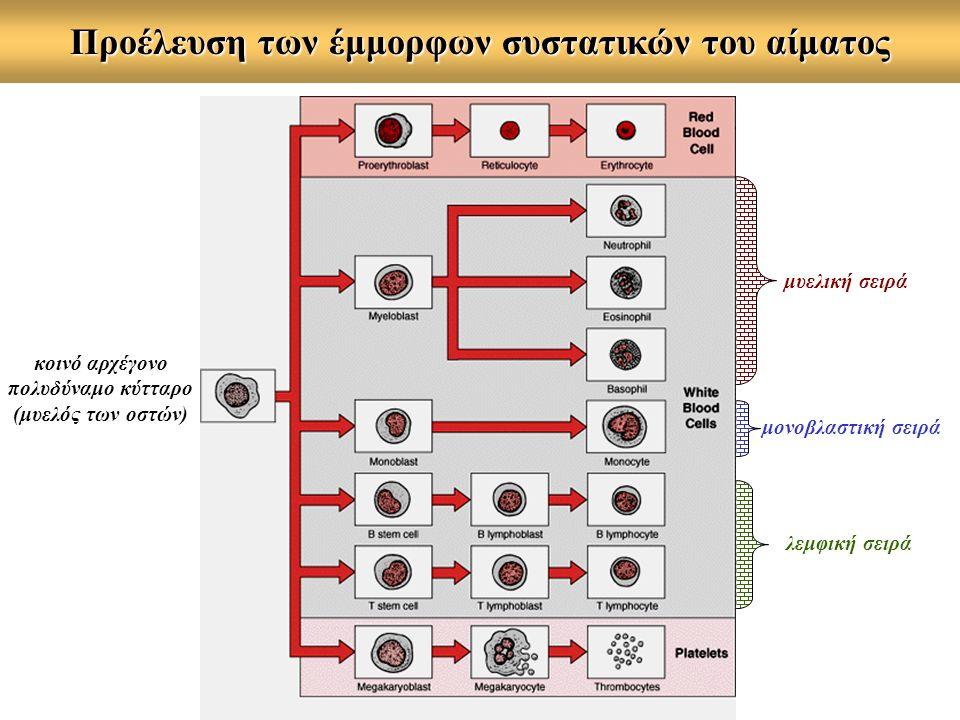 Προέλευση των έμμορφων συστατικών του αίματος κοινό αρχέγονο πολυδύναμο κύτταρο (μυελός των οστών) μυελική σειρά λεμφική σειρά μονοβλαστική σειρά
