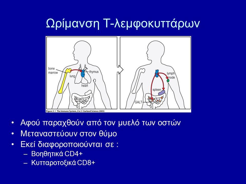 Ωρίμανση Τ-λεμφοκυττάρων Αφού παραχθούν από τον μυελό των οστών Μεταναστεύουν στον θύμο Εκεί διαφοροποιούνται σε : –Βοηθητικά CD4+ –Κυτταροτοξικά CD8+