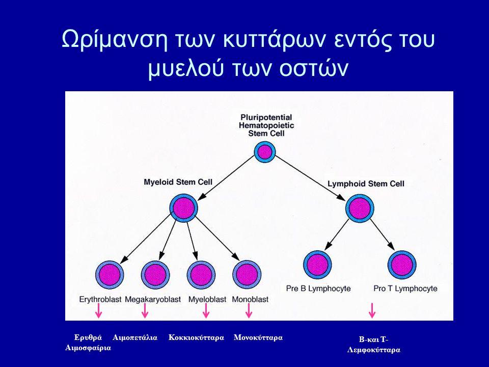 Ωρίμανση των κυττάρων εντός του μυελού των οστών Ερυθρά Αιμοσφαίρια ΑιμοπετάλιαΜονοκύτταραΚοκκιοκύτταρα Β-και Τ- Λεμφοκύτταρα