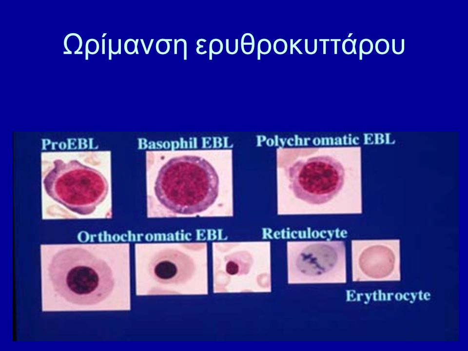 Ωρίμανση Κοκκιοκυττάρων Μυελοβλάστη ↓ Προμυελοκύτταρο ↓ Μυελοκύτταρο ↓ Μεταμυελοκύτταρο ↓ Ραβδοπύρηνο ↓ Ώριμο κοκκιοκύτταρο