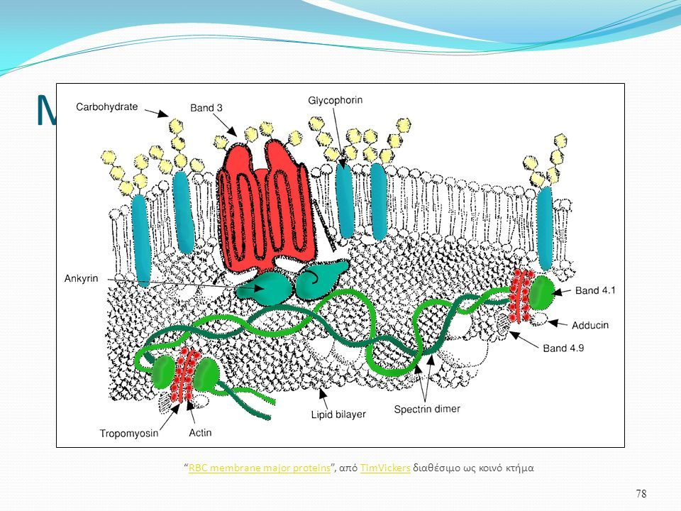 Μεμβράνη ερυθρού 78 RBC membrane major proteins , από TimVickers διαθέσιμο ως κοινό κτήμαRBC membrane major proteinsTimVickers