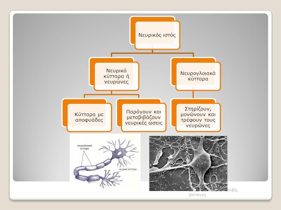 Νευρικός ιστός Νευρικά κύτταρα ή νευρώνες Κύτταρα με αποφυάδες Παράγουν και μεταβιβάζουν νευρικές ώσεις Νευρογλοιακά κύτταρα Στηρίζουν, μονώνουν και τρέφουν τους νευρώνες Επιμέλεια: Ελένη Τσιλιβή, βιολόγος