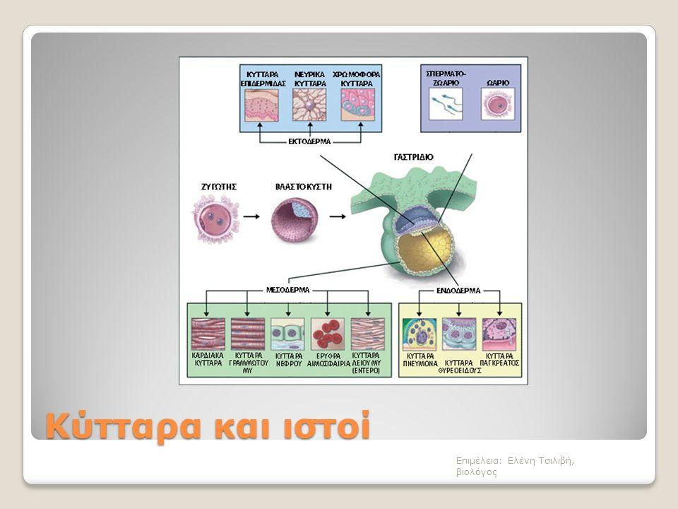 Οστίτης ιστός Στα οστά Εξαιρετικά σκληρή μεσοκυττάρια ουσία Με άλατα και ινίδια κολλαγόνου Οστεοκύτταρα Επιμέλεια: Ελένη Τσιλιβή, βιολόγος