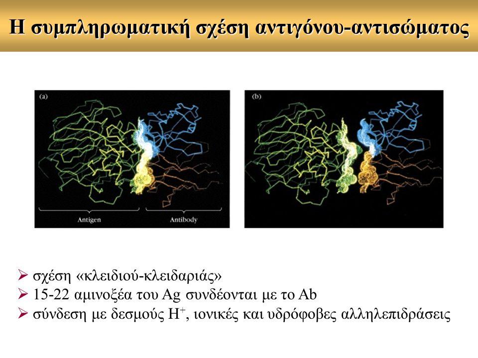Η συμπληρωματική σχέση αντιγόνου-αντισώματος  σχέση «κλειδιού-κλειδαριάς»  15-22 αμινοξέα του Ag συνδέονται με το Ab  σύνδεση με δεσμούς Η +, ιονικές και υδρόφοβες αλληλεπιδράσεις
