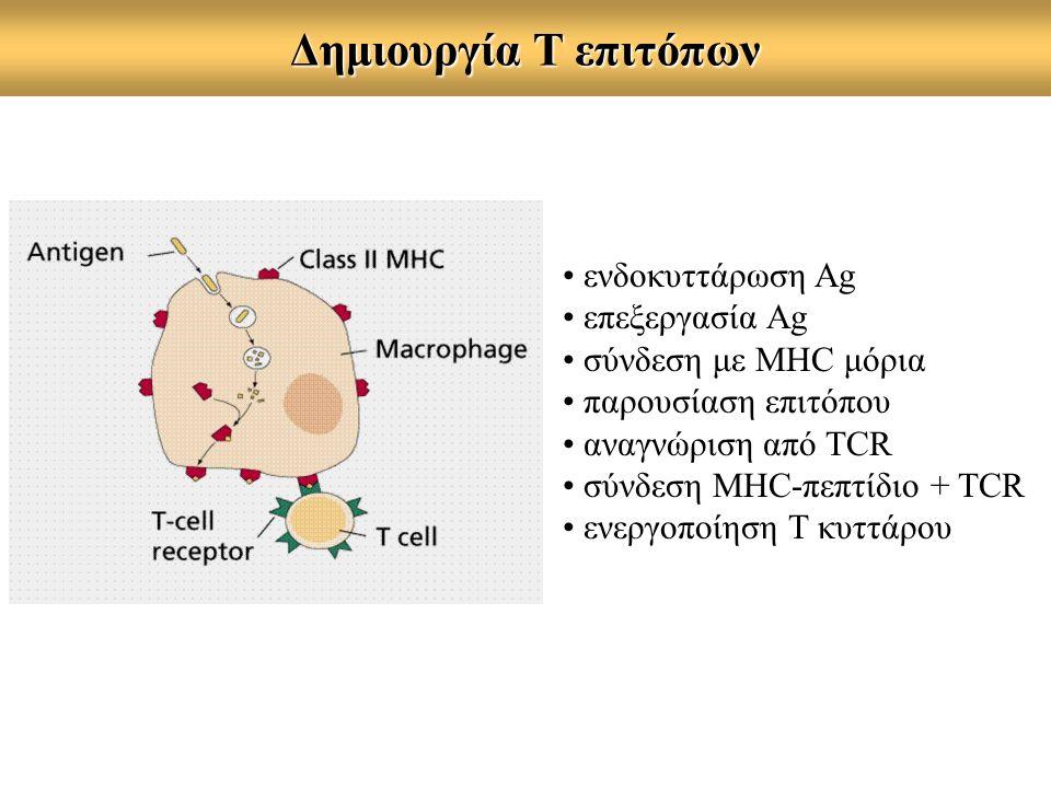 Δημιουργία Τ επιτόπων ενδοκυττάρωση Ag επεξεργασία Αg σύνδεση με MHC μόρια παρουσίαση επιτόπου αναγνώριση από TCR σύνδεση MHC-πεπτίδιο + TCR ενεργοποίηση Τ κυττάρου