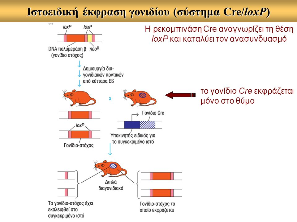 Ιστοειδική έκφραση γονιδίου (σύστημα Cre/loxP) το γονίδιο Cre εκφράζεται μόνο στο θύμο Η ρεκομπινάση Cre αναγνωρίζει τη θέση loxP και καταλύει τον ανασυνδυασμό