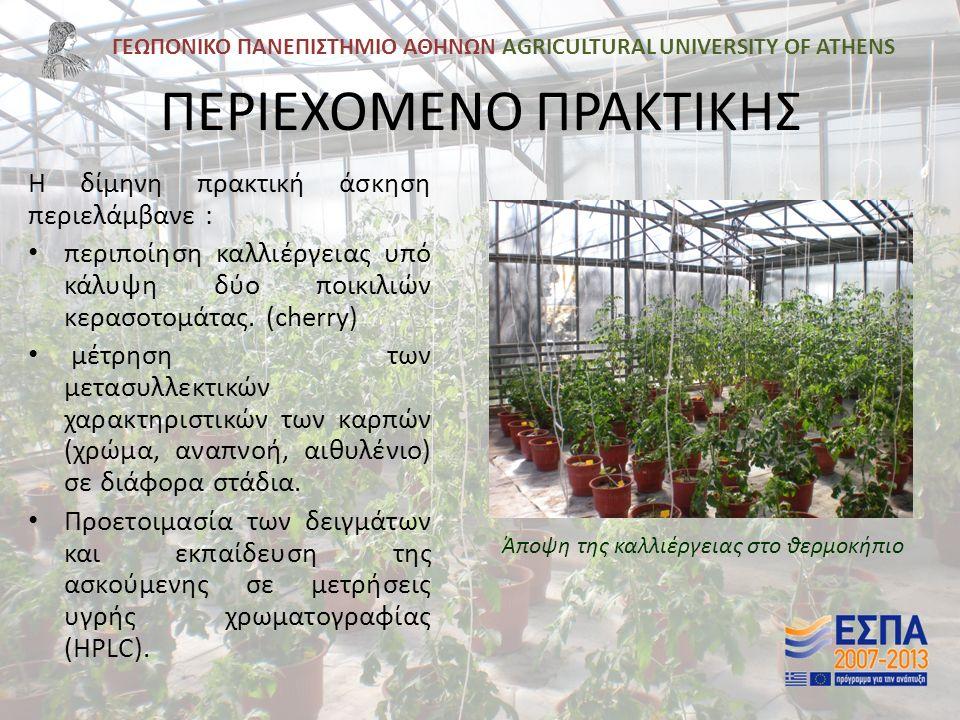 ΓΕΩΠΟΝΙΚΟ ΠΑΝΕΠΙΣΤΗΜΙΟ ΑΘΗΝΩΝ AGRICULTURAL UNIVERSITY OF ATHENS Η ΚΑΛΛΙΕΡΓΕΙΑ Η καλλιέργεια περιελάμβανε δύο υβρίδια τομάτας τύπου «cherry», τα Conchita F₁ και Cherelino F₁, με χαρακτηριστικό την υψηλή μετασυλλεκτική διάρκεια.