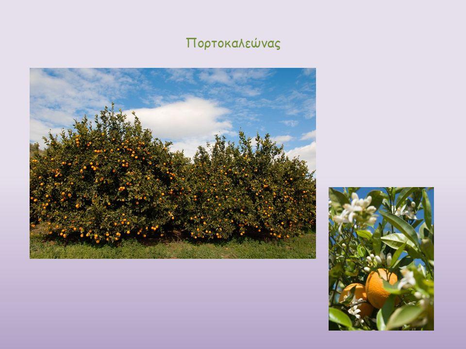 Πορτοκαλεώνας