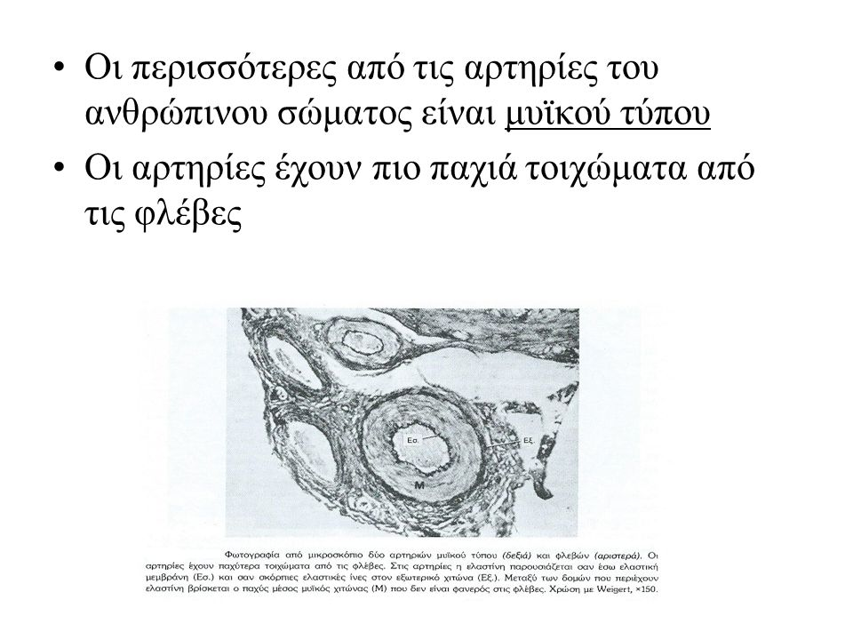 Οι περισσότερες από τις αρτηρίες του ανθρώπινου σώματος είναι μυϊκού τύπου Οι αρτηρίες έχουν πιο παχιά τοιχώματα από τις φλέβες