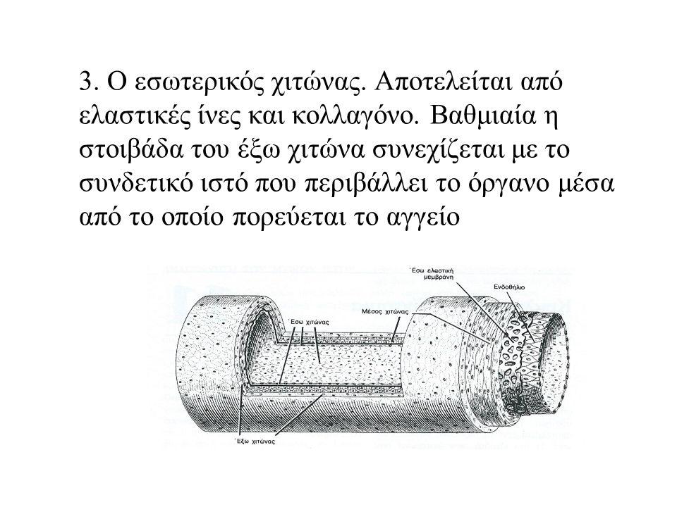 3. Ο εσωτερικός χιτώνας. Αποτελείται από ελαστικές ίνες και κολλαγόνο.