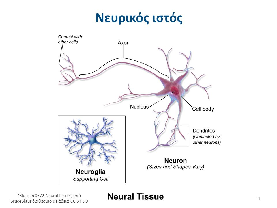 Για να εκτελούν την λειτουργία τους οι νευρώνες θα πρέπει να μπορούν αφ' ενός να δέχονται πληροφορία από άλλα κύτταρα και αφ' ετέρου να την μεταδίδουν σε άλλα κύτταρα.