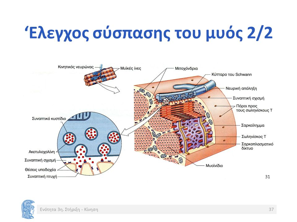 'Ελεγχος σύσπασης του μυός 2/2 Ενότητα 3η. Στήριξη - Κίνηση37 31
