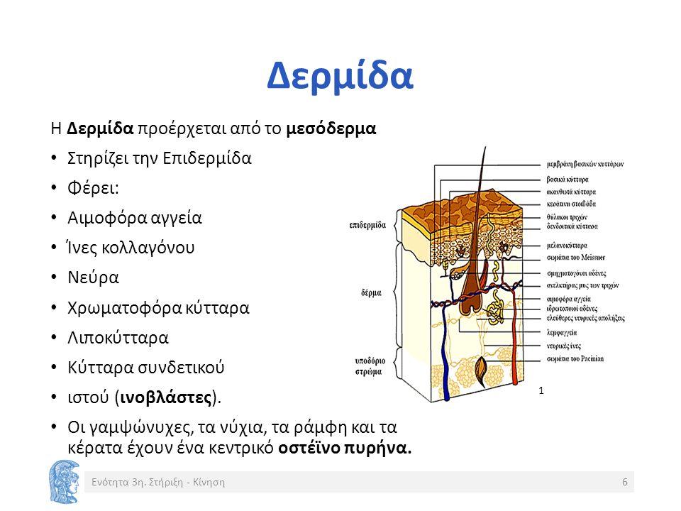 Δερμίδα Η Δερμίδα προέρχεται από το μεσόδερμα Στηρίζει την Επιδερμίδα Φέρει: Αιμοφόρα αγγεία Ίνες κολλαγόνου Νεύρα Χρωματοφόρα κύτταρα Λιποκύτταρα Κύτταρα συνδετικού ιστού (ινοβλάστες).