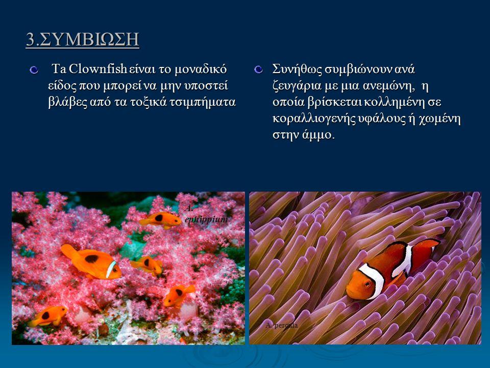 3.ΣΥΜΒΙΩΣΗ Ta Clownfish είναι το μοναδικό είδος που μπορεί να μην υποστεί βλάβες από τα τοξικά τσιμπήματα Ta Clownfish είναι το μοναδικό είδος που μπορεί να μην υποστεί βλάβες από τα τοξικά τσιμπήματα Συνήθως συμβιώνουν ανά ζευγάρια με μια ανεμώνη, η οποία βρίσκεται κολλημένη σε κοραλλιογενής υφάλους ή χωμένη στην άμμο.