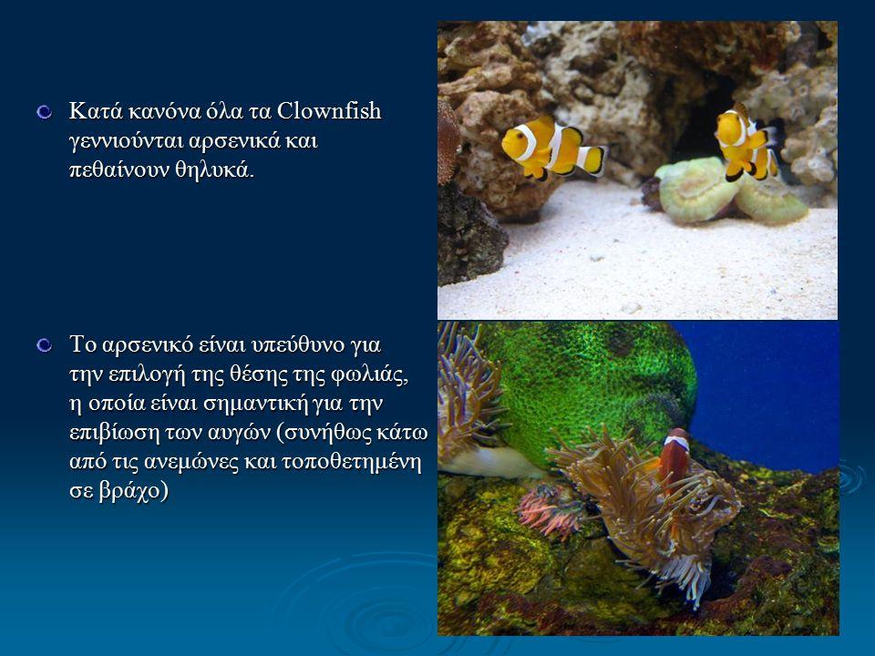 Κατά κανόνα όλα τα Clownfish γεννιούνται αρσενικά και πεθαίνουν θηλυκά.