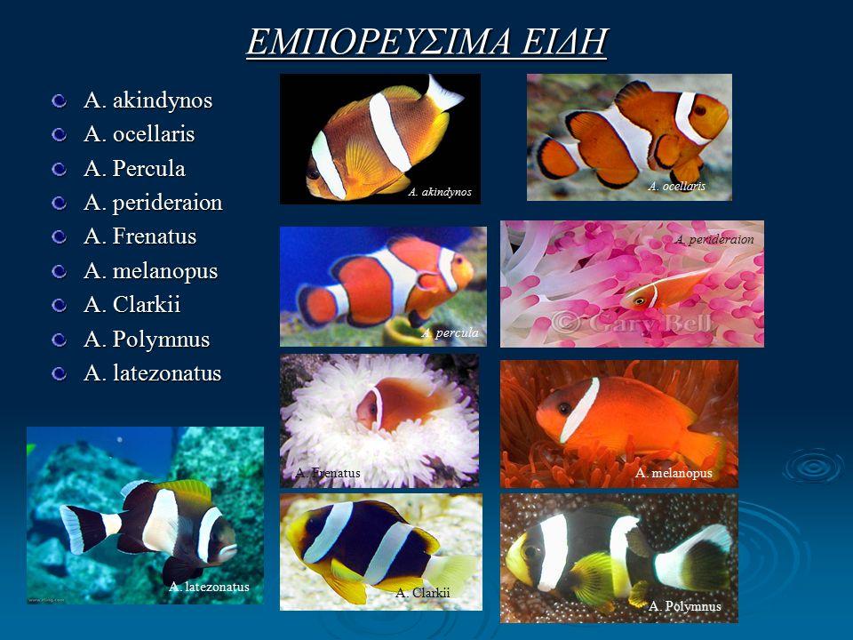 ΕΜΠΟΡΕΥΣΙΜΑ ΕΙΔΗ A. akindynos A. ocellaris A. Percula A.