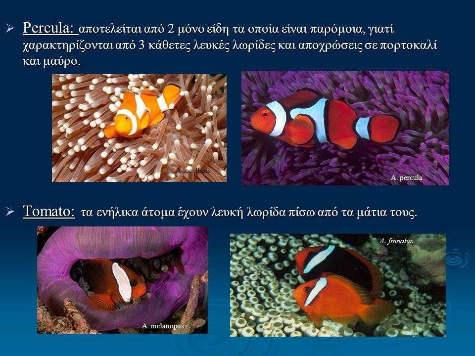  Percula: αποτελείται από 2 μόνο είδη τα οποία είναι παρόμοια, γιατί χαρακτηρίζονται από 3 κάθετες λευκές λωρίδες και αποχρώσεις σε πορτοκαλί και μαύρο.