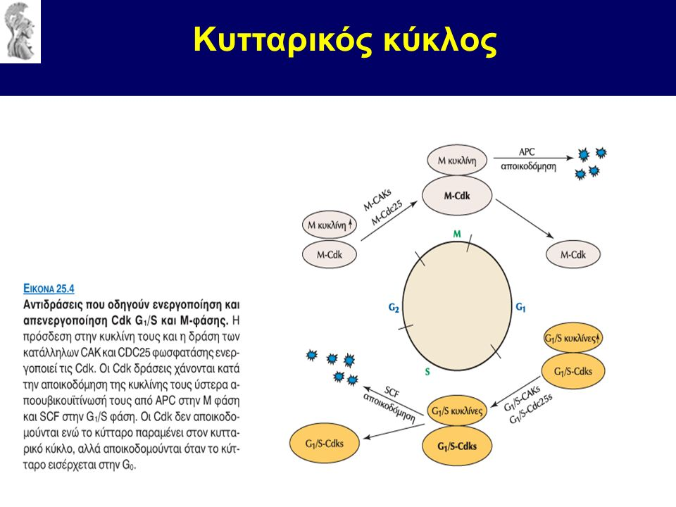 Κυτταρικός κύκλος