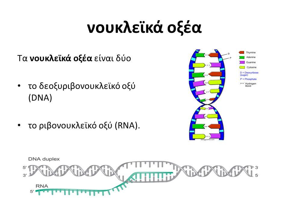 νουκλεϊκά οξέα Τα νουκλεϊκά οξέα είναι δύο το δεοξυριβονουκλεϊκό οξύ (DNA) το ριβονουκλεϊκό οξύ (RNA).