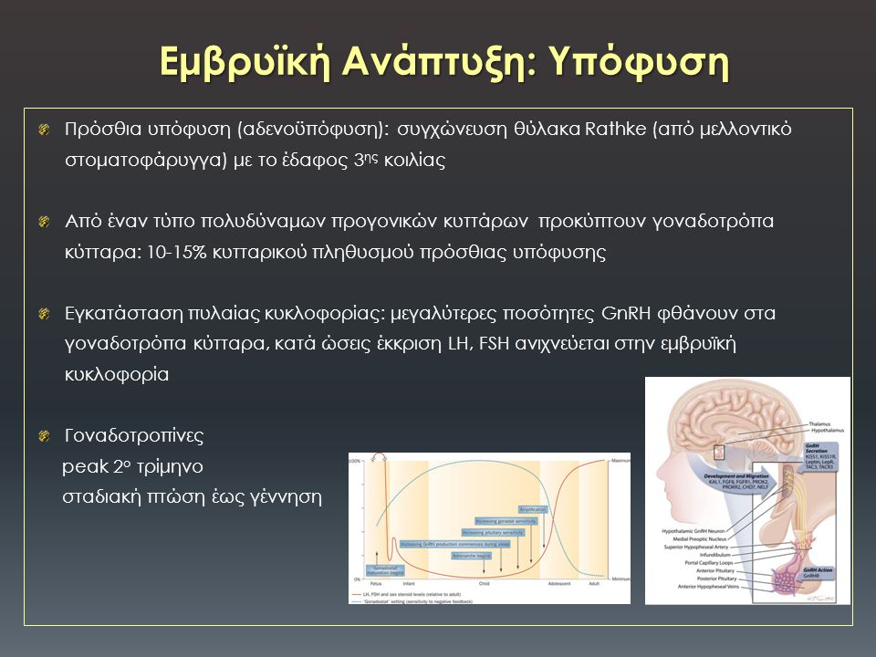 Πρόσθια υπόφυση (αδενοϋπόφυση): συγχώνευση θύλακα Rathke (από μελλοντικό στοματοφάρυγγα) με το έδαφος 3 ης κοιλίας Από έναν τύπο πολυδύναμων προγονικών κυττάρων προκύπτουν γοναδοτρόπα κύτταρα: 10-15% κυτταρικού πληθυσμού πρόσθιας υπόφυσης Εγκατάσταση πυλαίας κυκλοφορίας: μεγαλύτερες ποσότητες GnRH φθάνουν στα γοναδοτρόπα κύτταρα, κατά ώσεις έκκριση LH, FSH ανιχνεύεται στην εμβρυϊκή κυκλοφορία Γοναδοτροπίνες peak 2 ο τρίμηνο σταδιακή πτώση έως γέννηση Εμβρυϊκή Ανάπτυξη: Υπόφυση