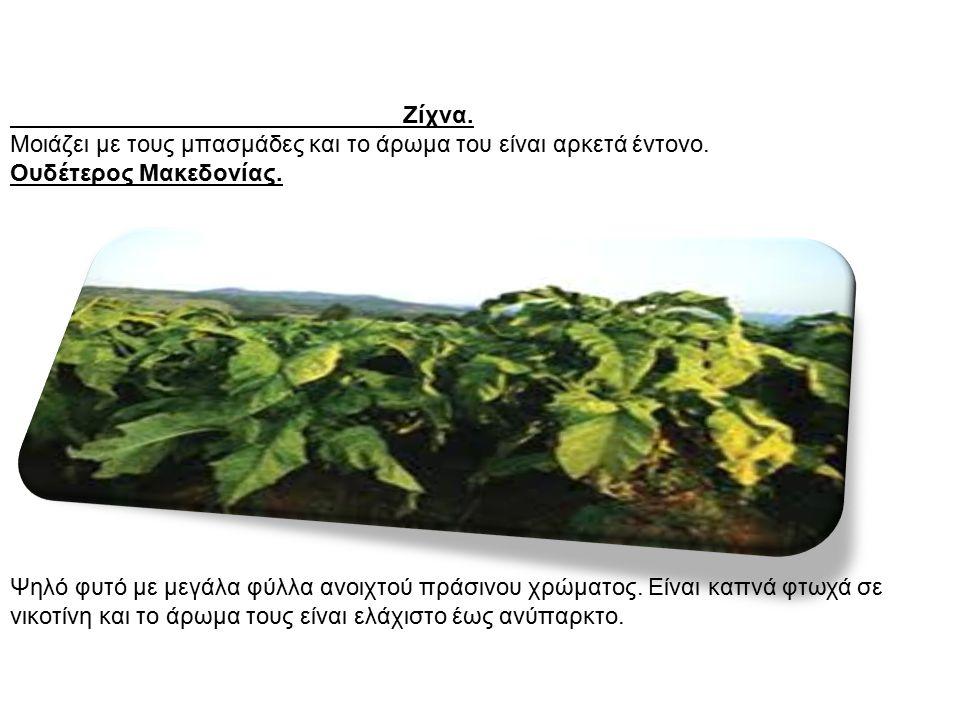 Ζίχνα. Μοιάζει με τους μπασμάδες και το άρωμα του είναι αρκετά έντονο. Ουδέτερος Μακεδονίας. Ψηλό φυτό με μεγάλα φύλλα ανοιχτού πράσινου χρώματος. Είν
