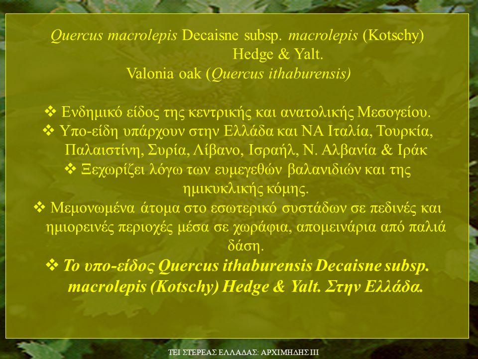 Quercus macrolepis Decaisne subsp.macrolepis (Kotschy) Hedge & Yalt.
