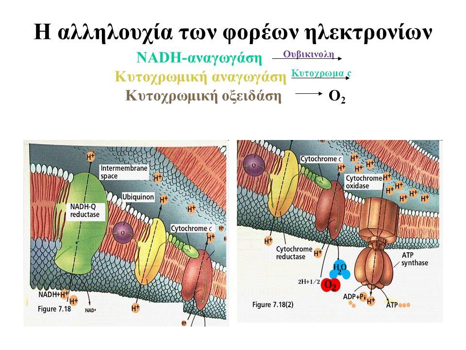 Η αλληλουχία των φορέων ηλεκτρονίων ΝADH-αναγωγάση Ουβικινολη Κυτοχρωμική αναγωγάση Κυτοχρωμα c Κυτοχρωμική οξειδάση O 2