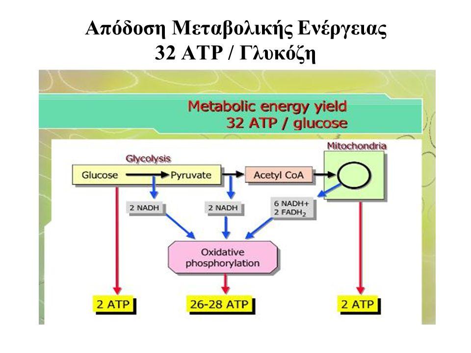Απόδοση Μεταβολικής Ενέργειας 32 ΑΤΡ / Γλυκόζη
