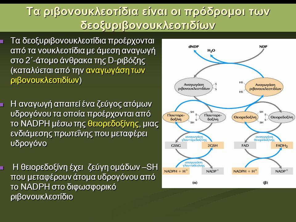 Τα ριβονουκλεοτίδια είναι οι πρόδρομοι των δεοξυριβονουκλεοτιδίων Τα δεοξυριβονουκλεοτίδια προέρχονται από τα νουκλεοτίδια με άμεση αναγωγή στο 2΄-άτομο άνθρακα της D-ριβόζης (καταλύεται από την αναγωγάση των ριβονουκλεοτιδίων) Τα δεοξυριβονουκλεοτίδια προέρχονται από τα νουκλεοτίδια με άμεση αναγωγή στο 2΄-άτομο άνθρακα της D-ριβόζης (καταλύεται από την αναγωγάση των ριβονουκλεοτιδίων) Η αναγωγή απαιτεί ένα ζεύγος ατόμων υδρογόνου τα οποία προέρχονται από το NADPH μέσω της θειορεδοξίνης, μιας ενδιάμεσης πρωτεΐνης που μεταφέρει υδρογόνο Η αναγωγή απαιτεί ένα ζεύγος ατόμων υδρογόνου τα οποία προέρχονται από το NADPH μέσω της θειορεδοξίνης, μιας ενδιάμεσης πρωτεΐνης που μεταφέρει υδρογόνο Η θειορεδοξίνη έχει ζεύγη ομάδων –SH που μεταφέρουν άτομα υδρογόνου από το NADPH στο διφωσφορικό ριβονουκλεοτίδιο Η θειορεδοξίνη έχει ζεύγη ομάδων –SH που μεταφέρουν άτομα υδρογόνου από το NADPH στο διφωσφορικό ριβονουκλεοτίδιο