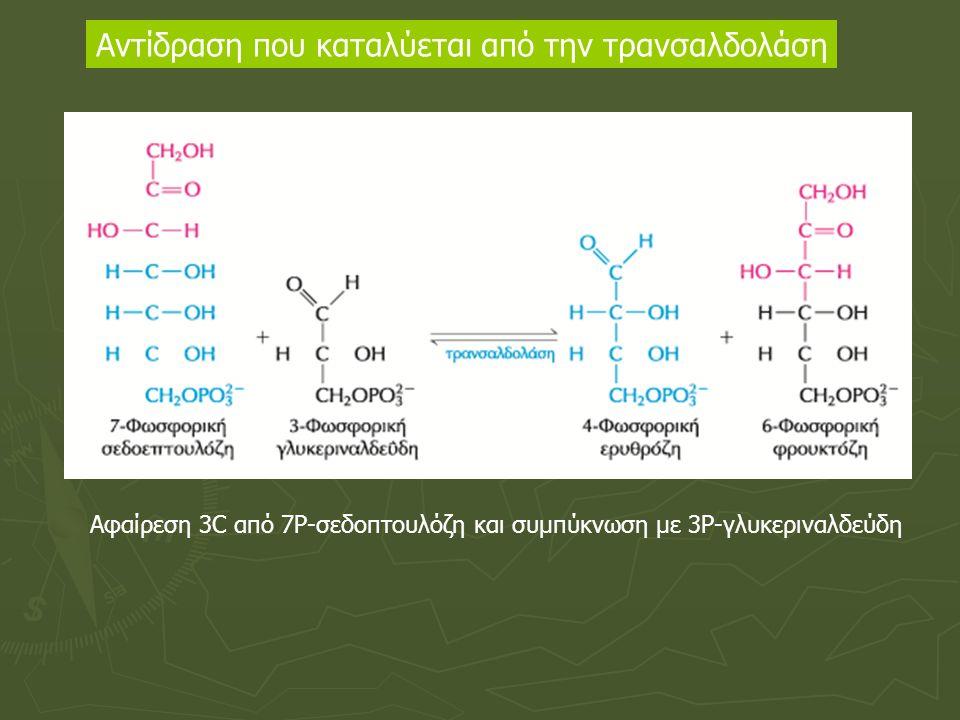 Αντίδραση που καταλύεται από την τρανσαλδολάση Αφαίρεση 3C από 7Ρ-σεδοπτουλόζη και συμπύκνωση με 3Ρ-γλυκεριναλδεύδη