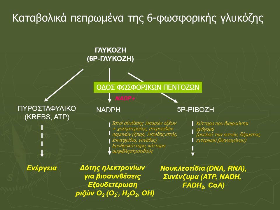 ΟΔΟΣ ΦΩΣΦΟΡΙΚΩΝ ΠΕΝΤΟΖΩΝ Η οξειδωτική φάση παράγει φωσφορικές πεντόζες και ΝΑDPH Δεϋδρογονάση 6Ρ-γλυκόζης To NADΡH ανάγει την γλουταθειόνη → προστατεύει το κύτταρο από δραστικά παράγωγα Ο 2 (Η 2 Ο 2, ΟΗ)