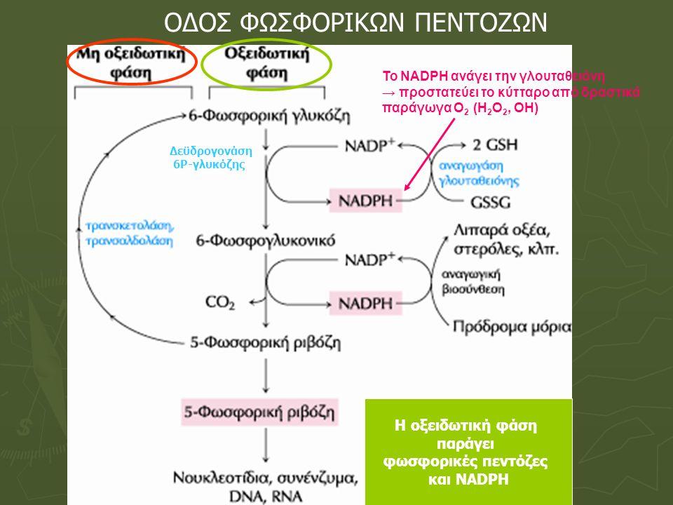 ΟΔΟΣ ΦΩΣΦΟΡΙΚΩΝ ΠΕΝΤΟΖΩΝ Η οξειδωτική φάση παράγει φωσφορικές πεντόζες και ΝΑDPH Δεϋδρογονάση 6Ρ-γλυκόζης To NADΡH ανάγει την γλουταθειόνη → προστατεύ