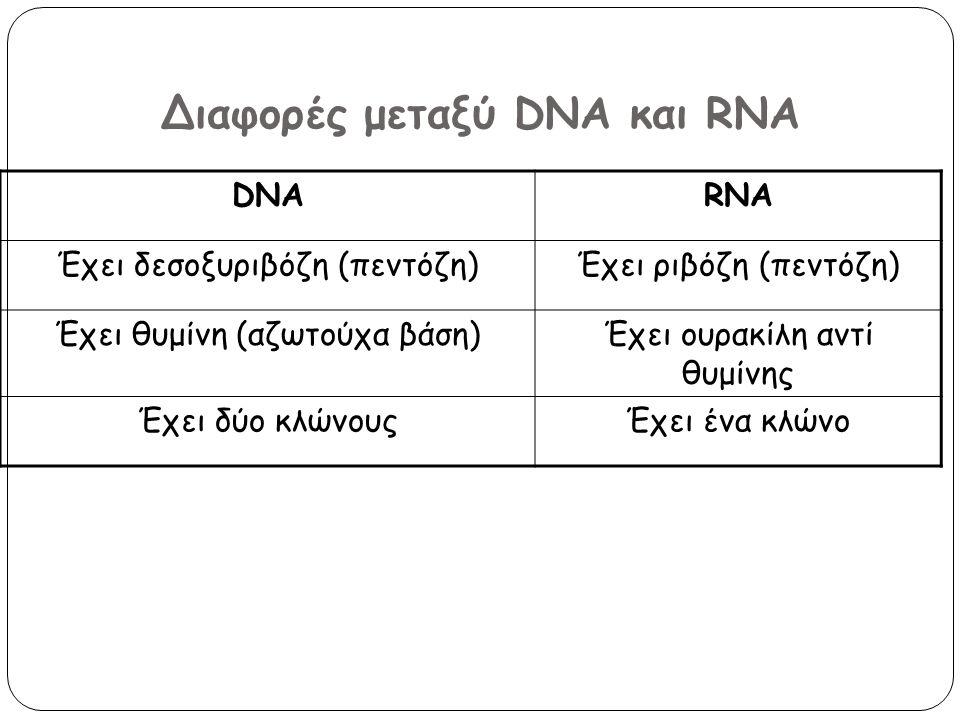 Διαφορές μεταξύ DNA και RNA DNARNA Έχει δεσοξυριβόζη (πεντόζη)Έχει ριβόζη (πεντόζη) Έχει θυμίνη (αζωτούχα βάση)Έχει ουρακίλη αντί θυμίνης Έχει δύο κλώ