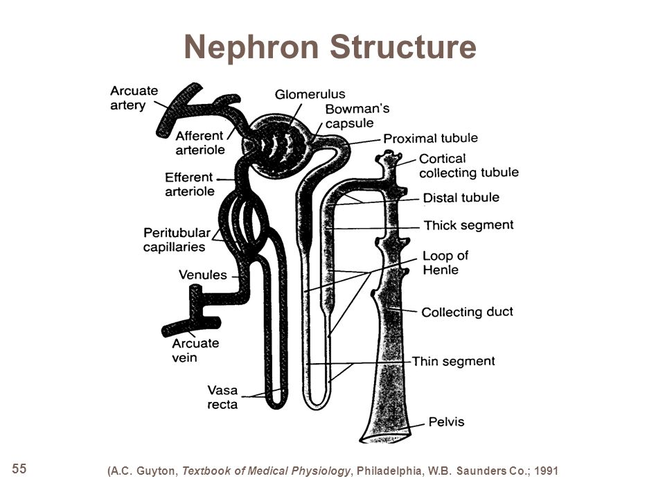 55 Nephron Structure (A.C. Guyton, Textbook of Medical Physiology, Philadelphia, W.B. Saunders Co.; 1991